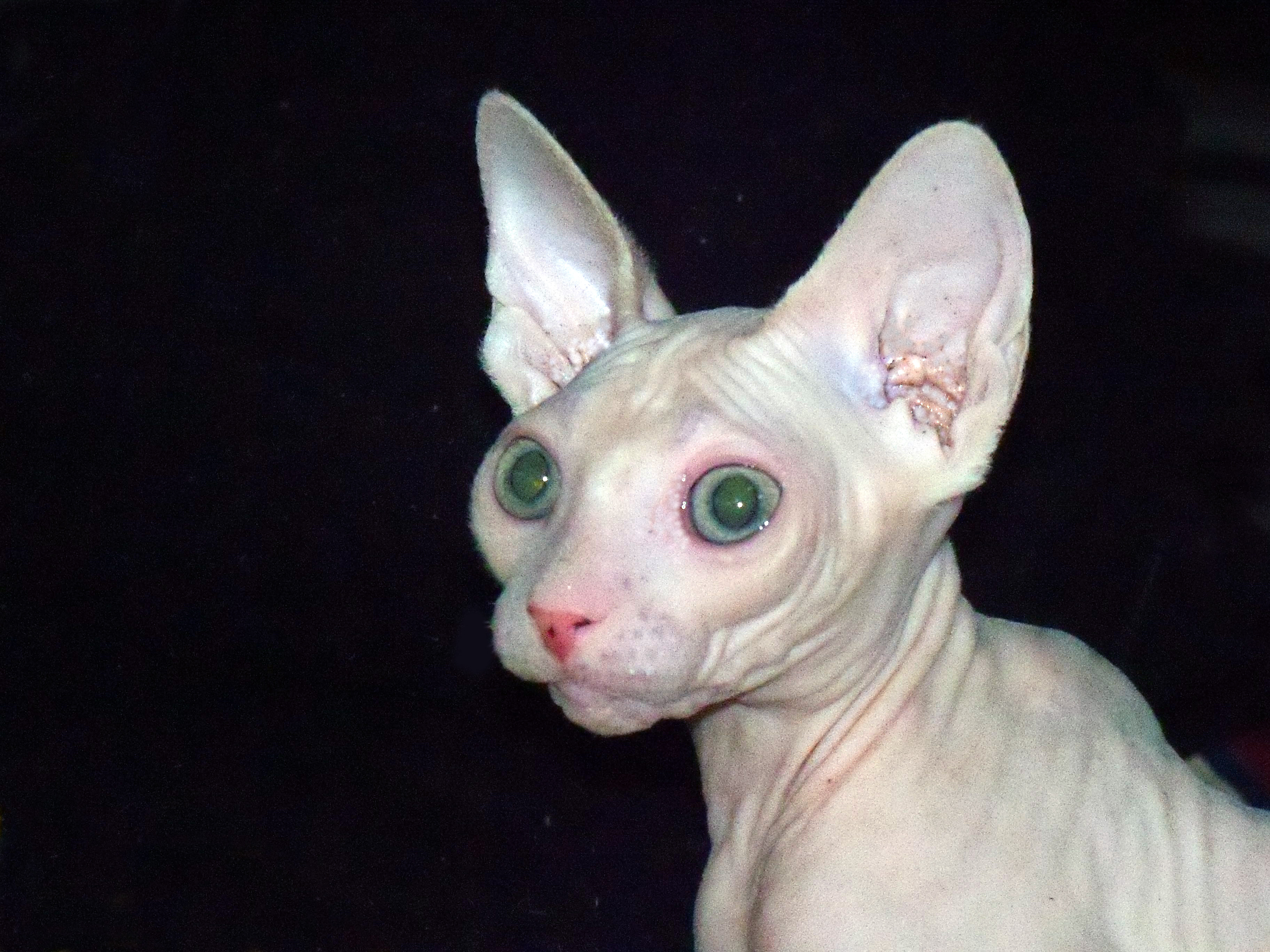 Sphynx Kittens For Sale Chicago Il